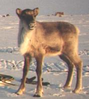 Clyde our pet caribou
