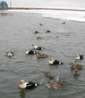 King Eiders at Colville Village