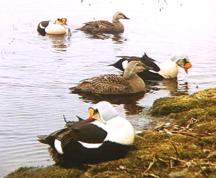 King Eider pairs at Colville Village